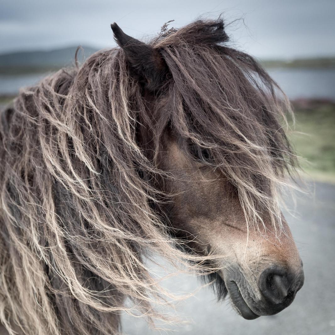 Eriskay Pony III