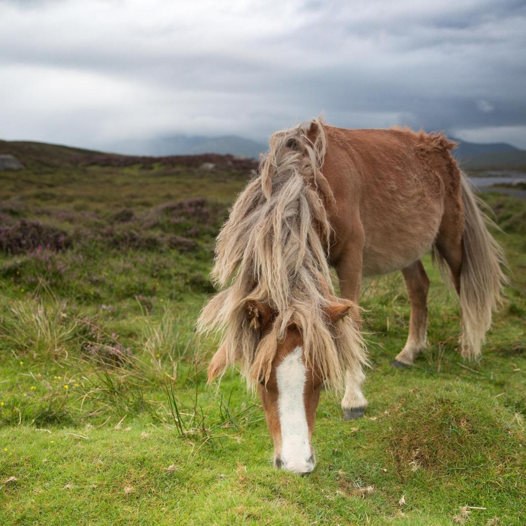 Eriskay Pony XV