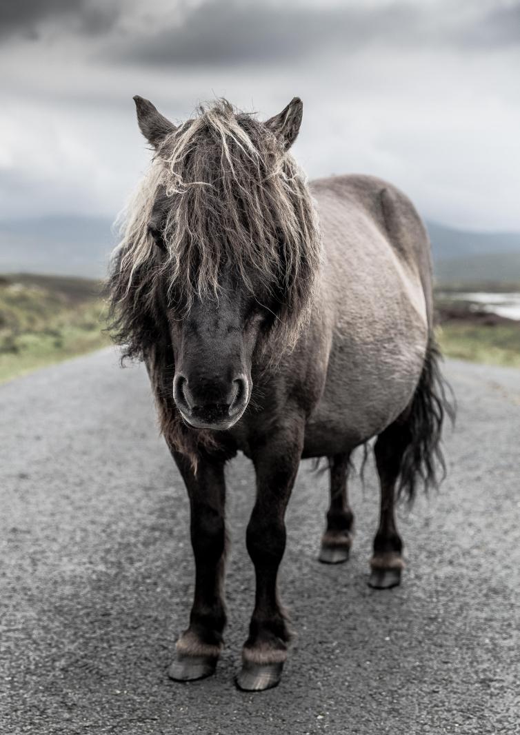 Eriskay Pony IV