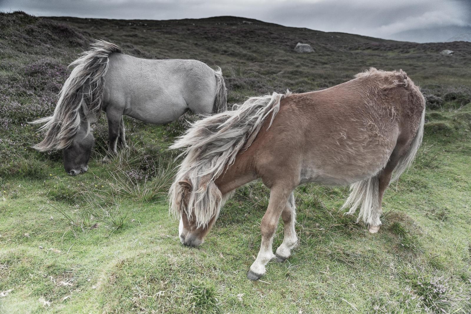 Eriskay Pony VI
