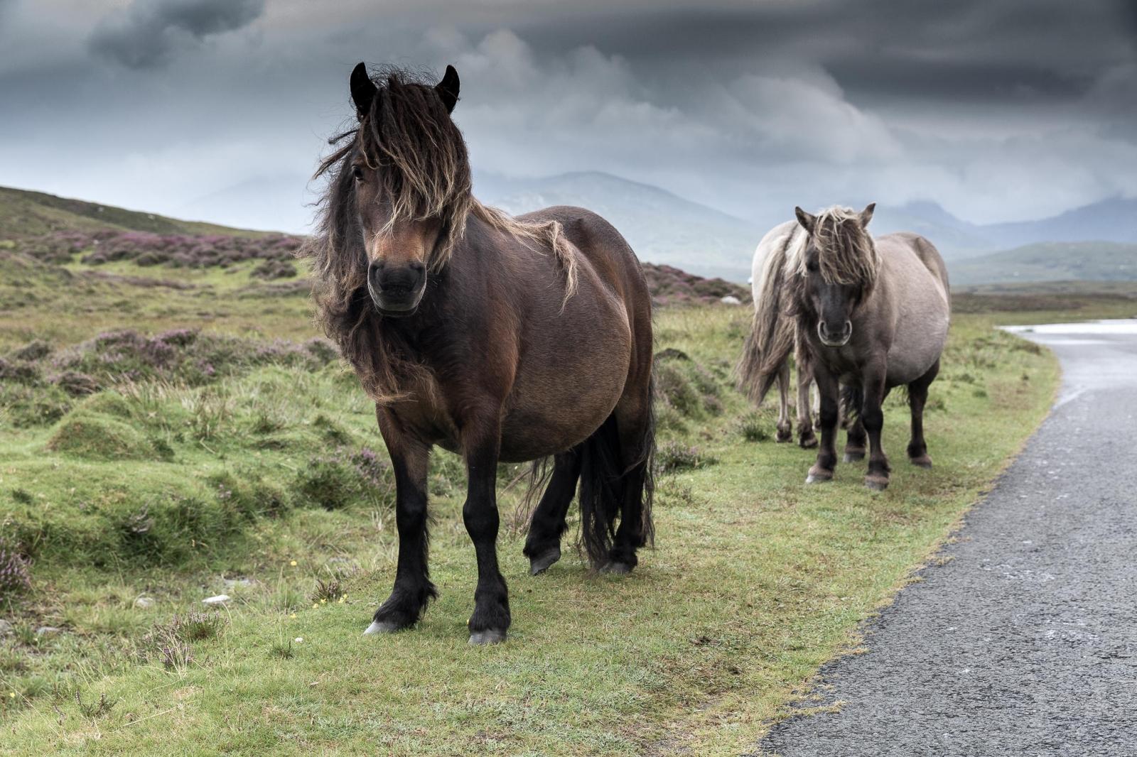 Eriskay Pony VII