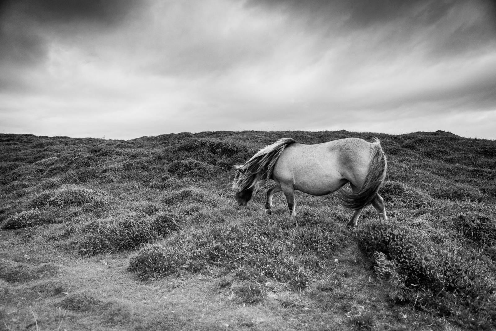 Eriskay Pony X