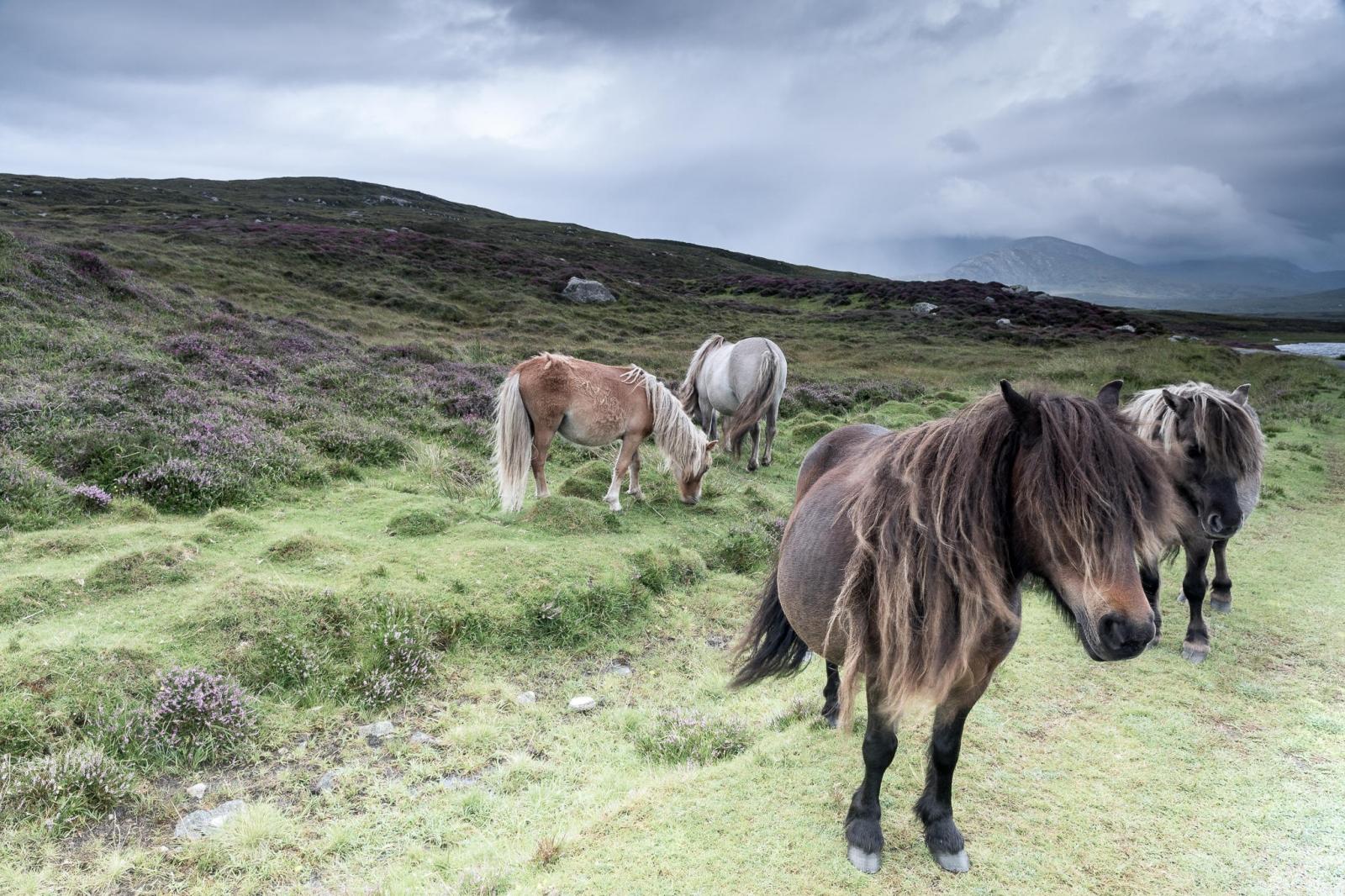Eriskay Pony XI