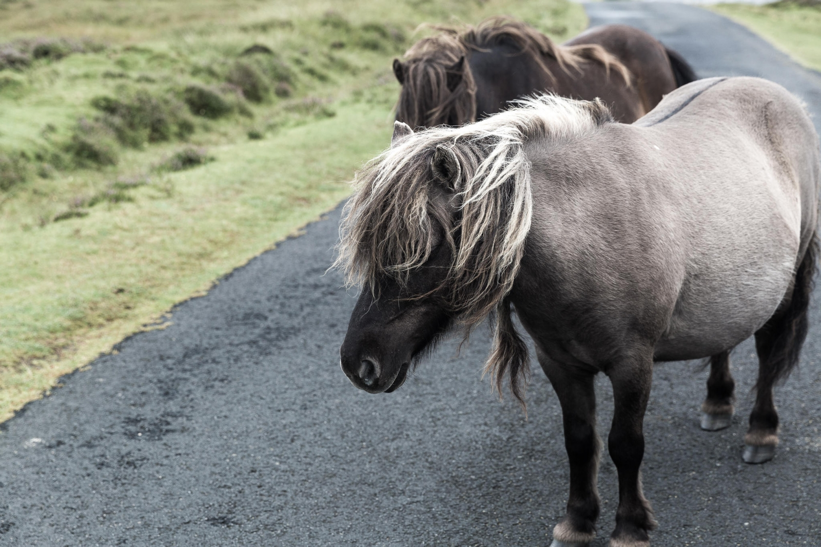 Eriskay Pony XII
