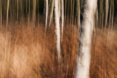 Birches - I