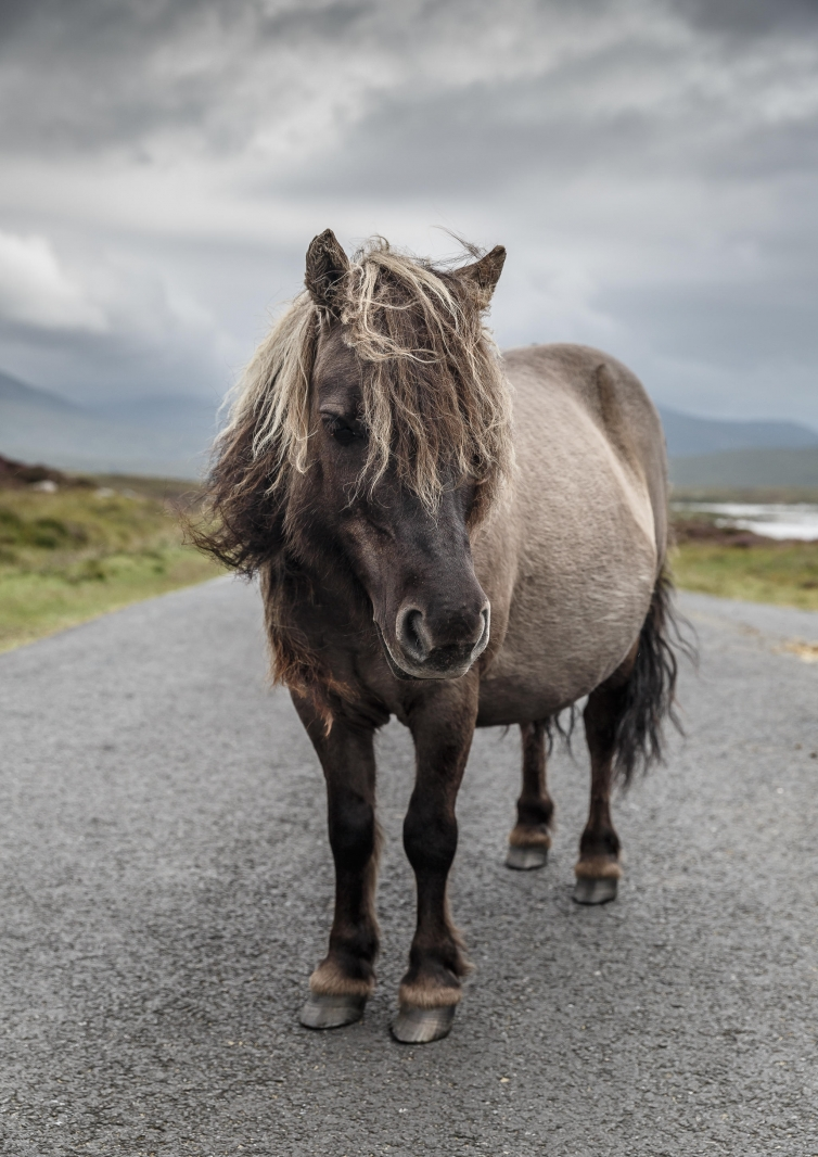 Eriskay Pony II