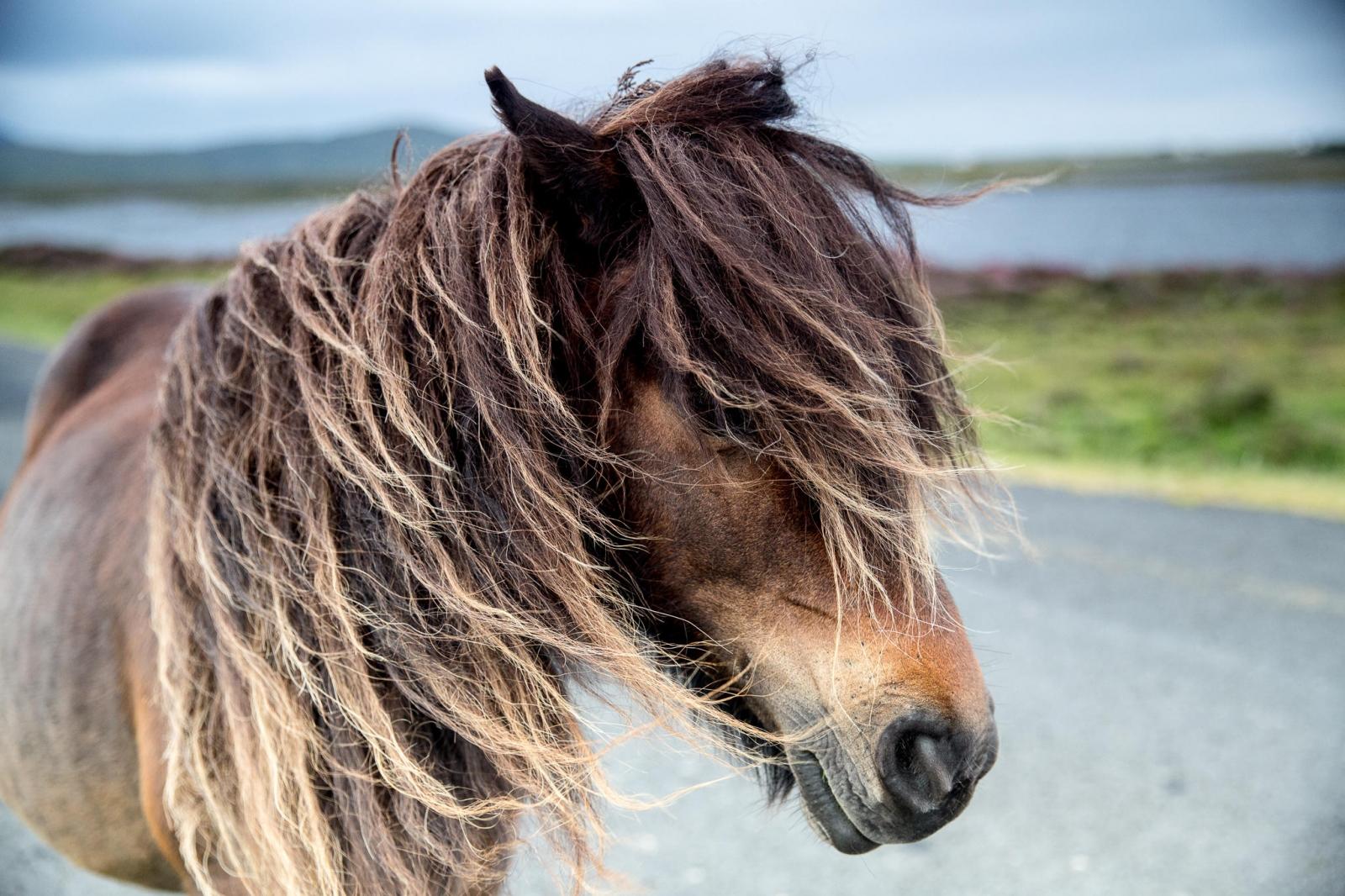 Eriskay Pony V