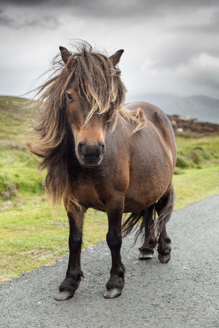 Eriskay Pony VIII
