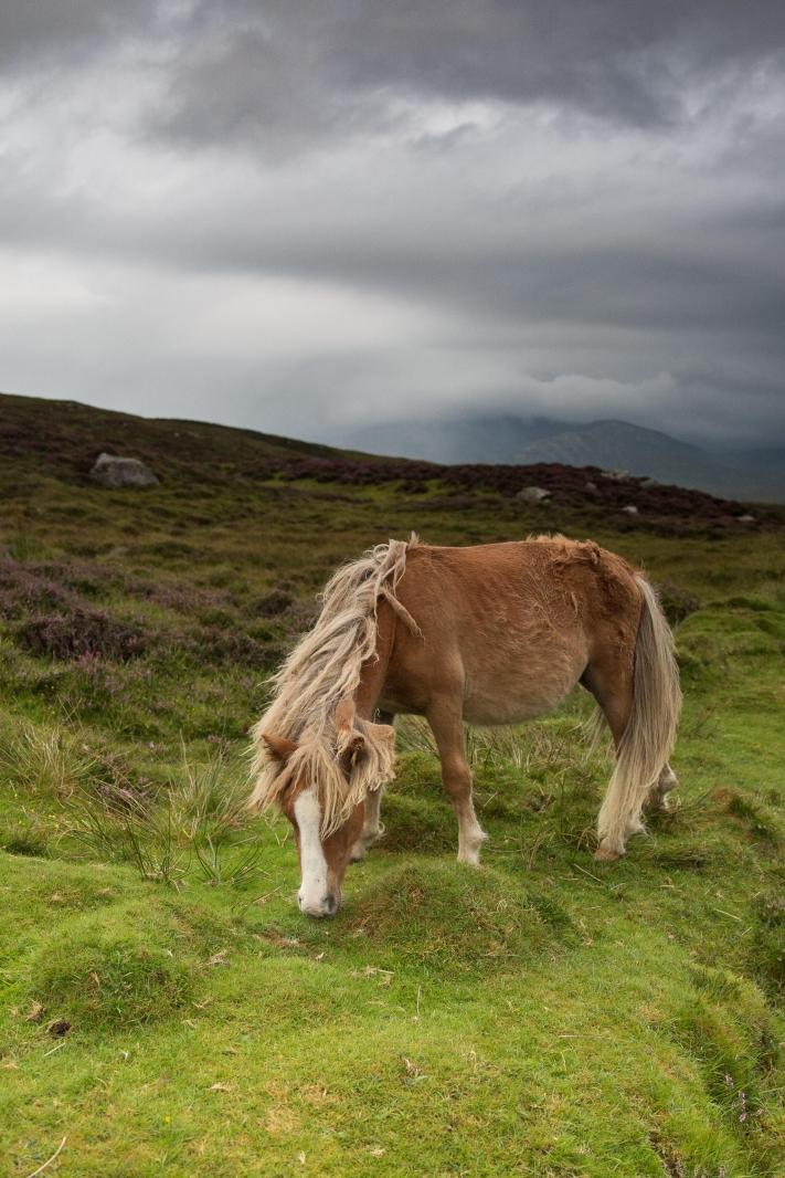 Eriskay Pony XIII