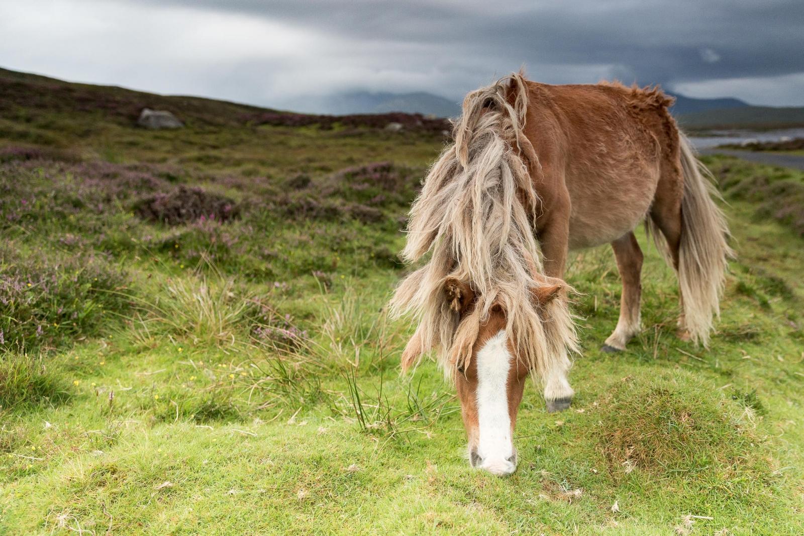 Eriskay Pony XVI