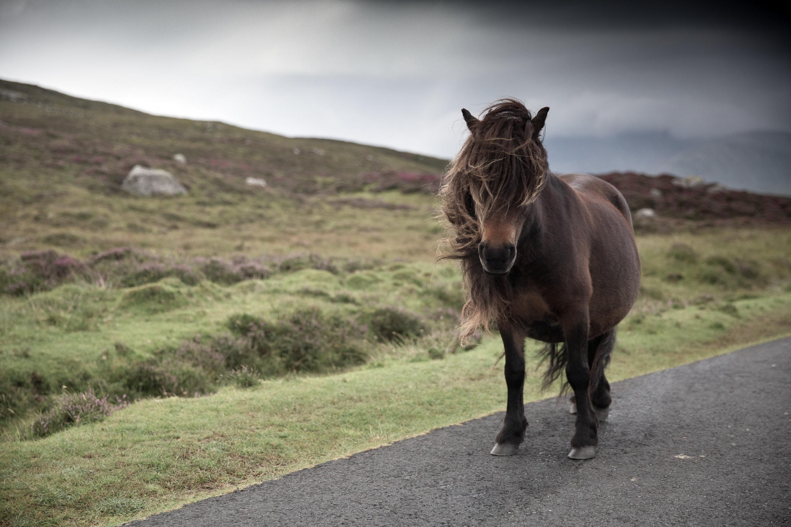 Eriskay Pony XVIII
