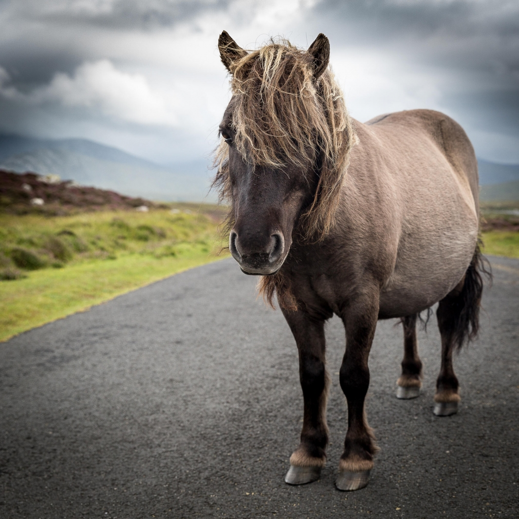 Eriskay Pony I