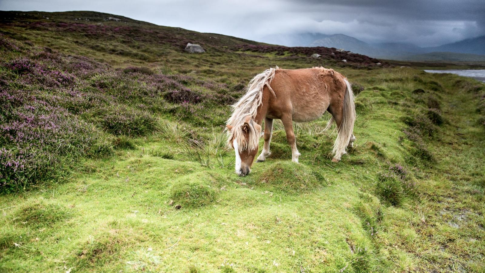 Eriskay Pony XIV