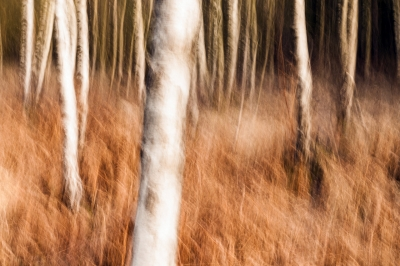 Birches - II