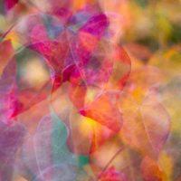 Cercis Canadensis – Kaleidoscope